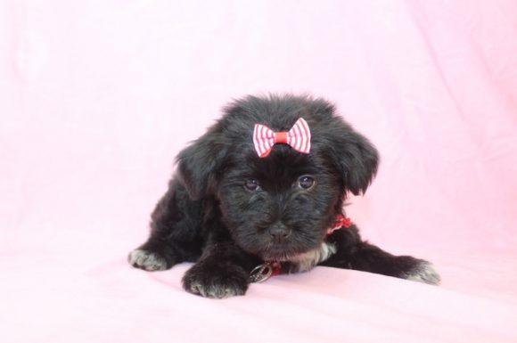 Rey Rey - Toy Maltipoo Puppy2