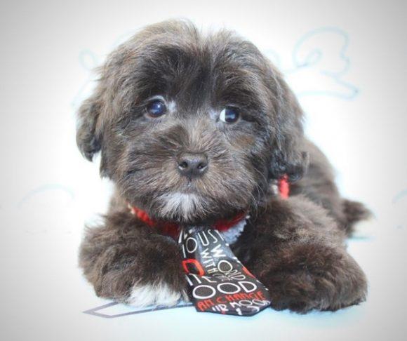 Rocky - Toy Malshi Puppy near Santa Monica.0