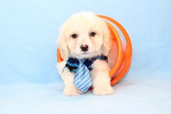 Rodriguez - Toy Maltipoo Puppy2