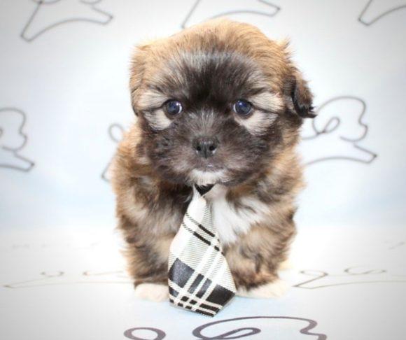 Rolex - shipoo dog in Henderson Nevada.4