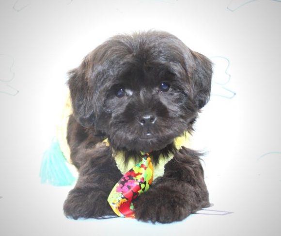 Romeo - Teacup Malshi Puppy in Las Vegas.3