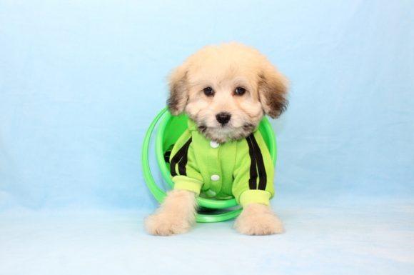 Ronaldo - Toy Maltipoo Puppy19