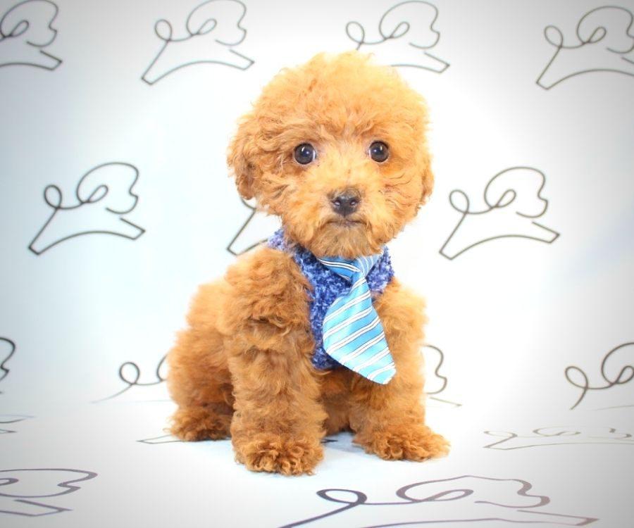 Rufus - red poodle in Las Vegas.2