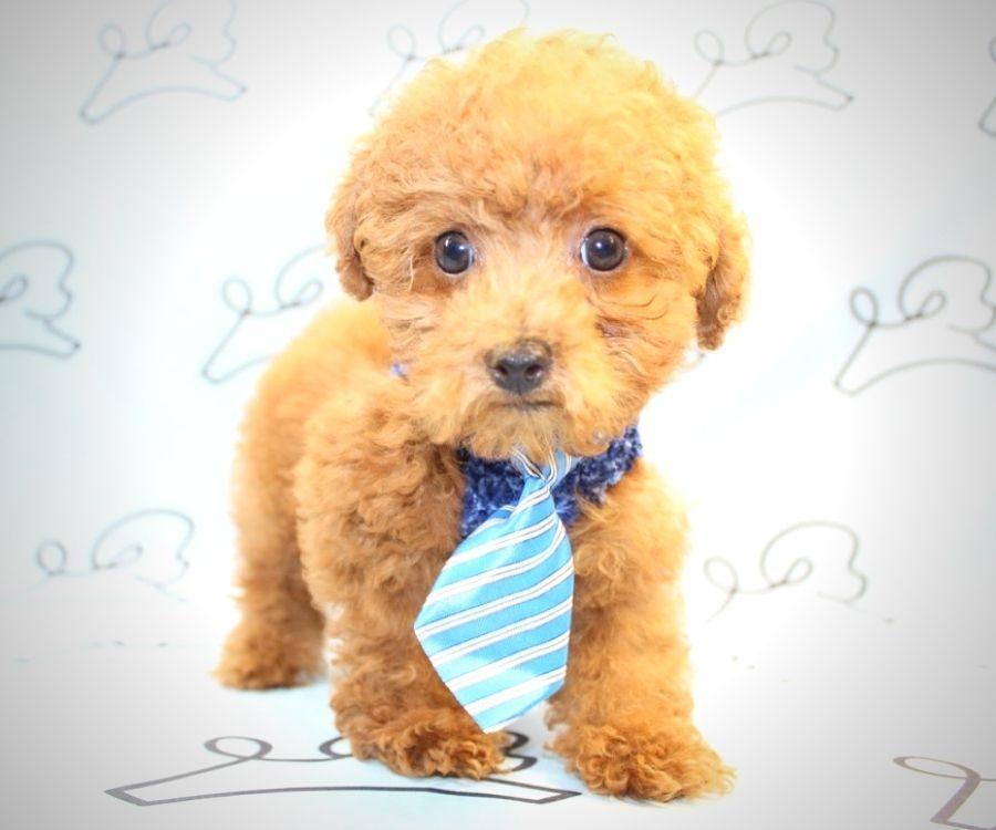 Rufus - red poodle in Las Vegas.4