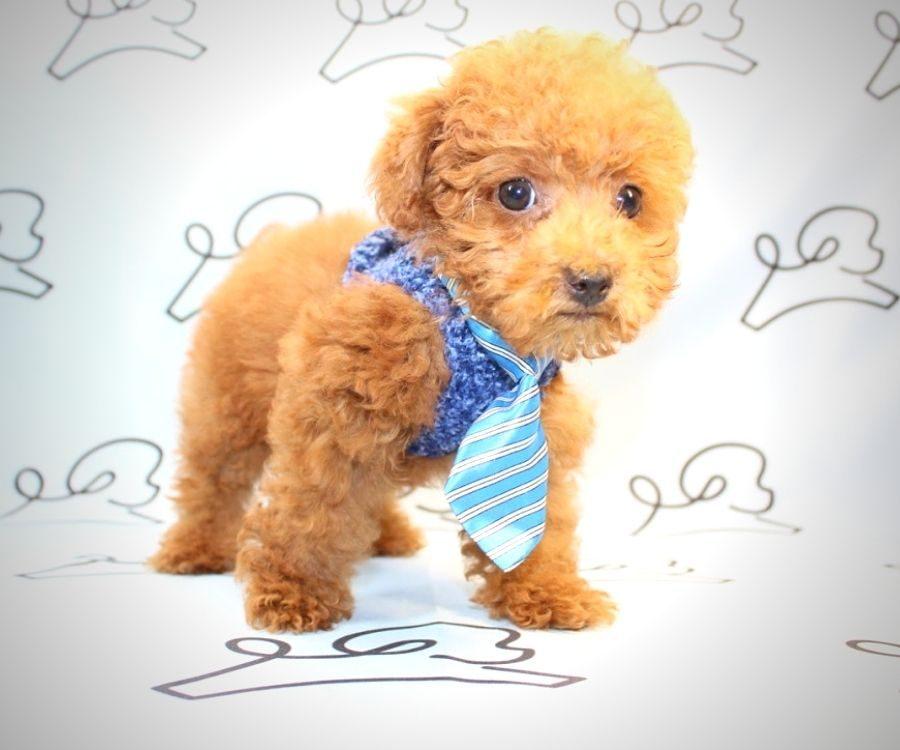 Rufus - red poodle in Las Vegas.5