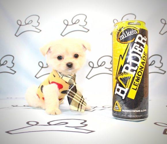 Ryder - teacup maltipoo puppy in Las Vegas:Los Angeles.0