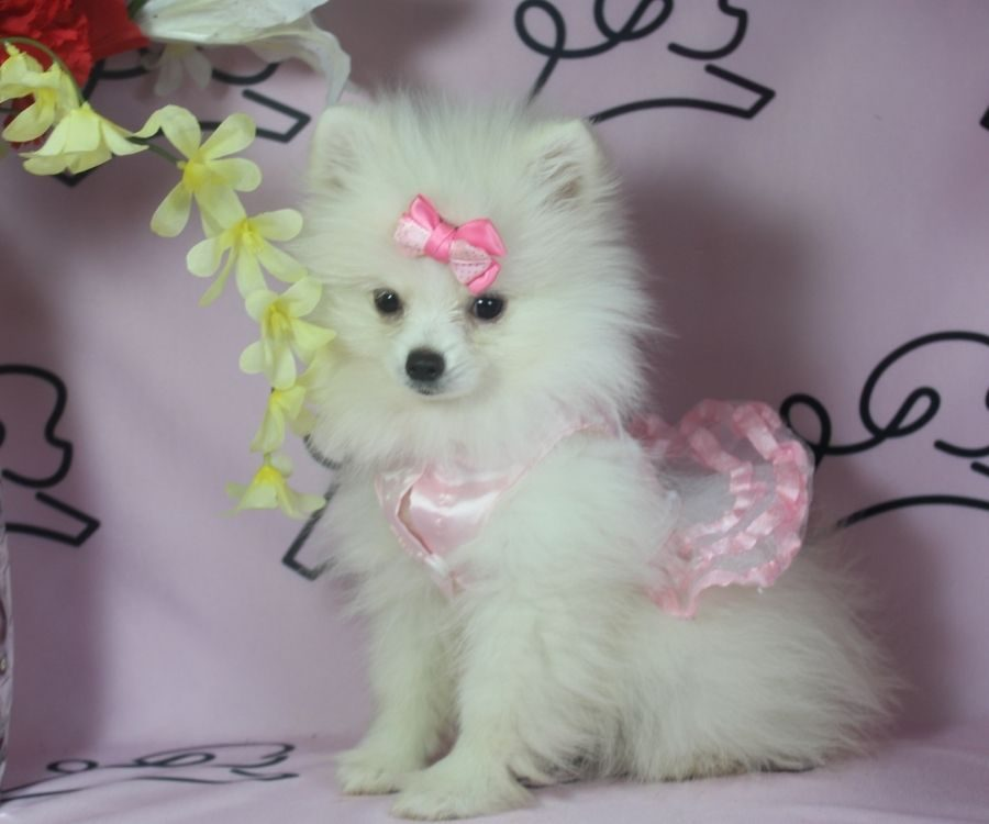 Sabrina- toy pomeranian puppy in Las Vegas:Los Angeles.0