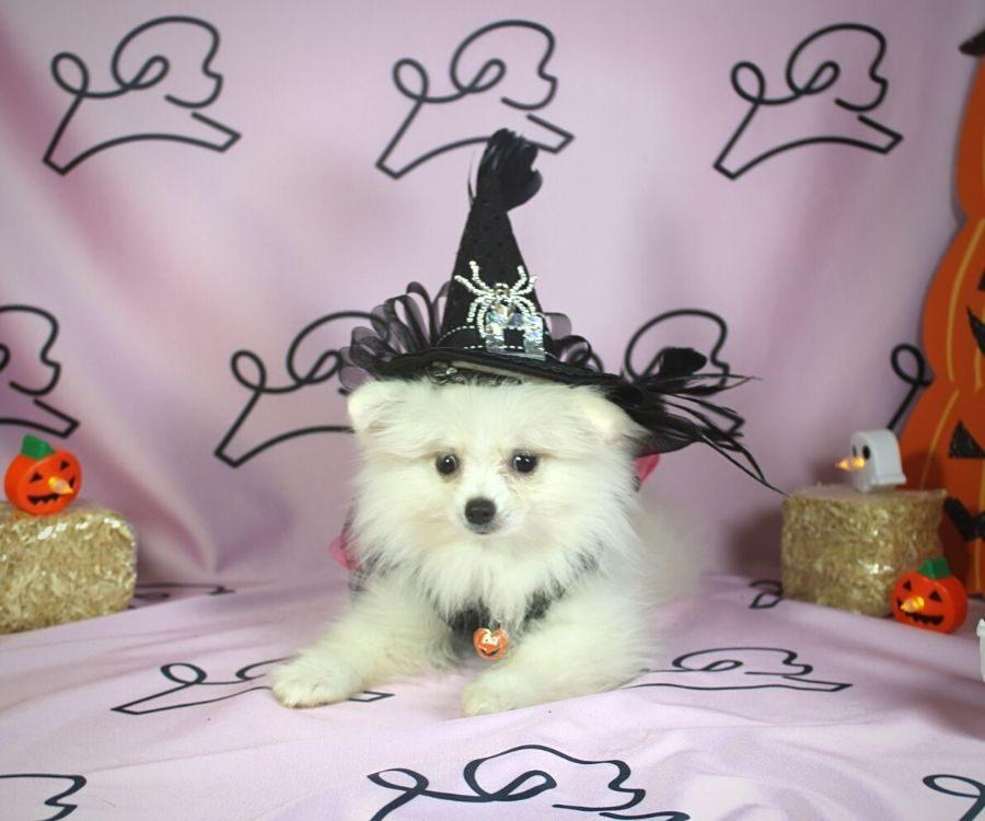 Sabrina - toy pomeranian puppy in Las Vegas:Los Angeles.0