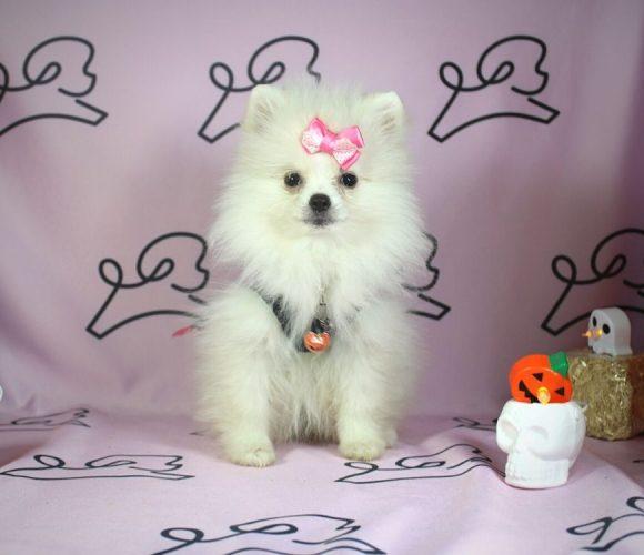 Sabrina - toy pomeranian puppy in Las Vegas:Los Angeles.2