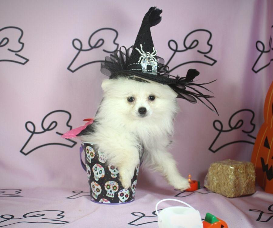 Sabrina - toy pomeranian puppy in Las Vegas:Los Angeles.3