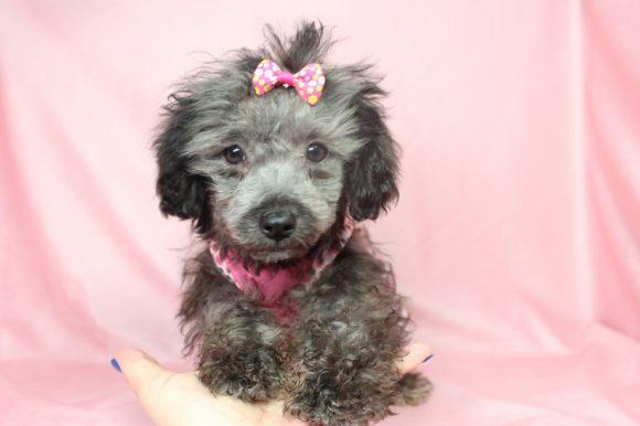 Sally - toy Maltipoo puppy in Las Vegas (16)