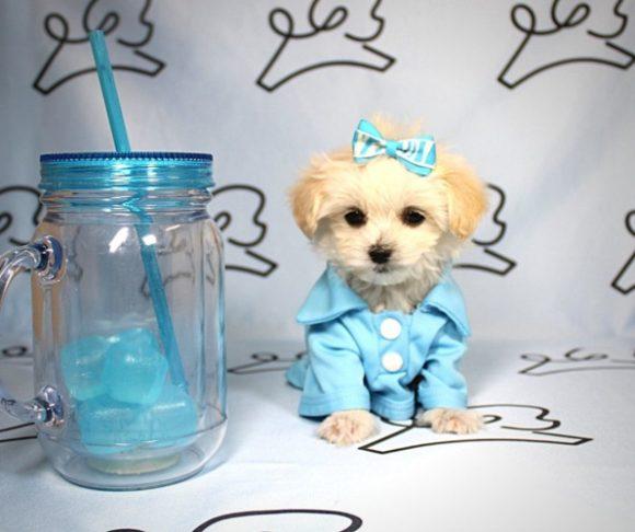 Scooby Doo - Malchi puppies in Los Angeles.1