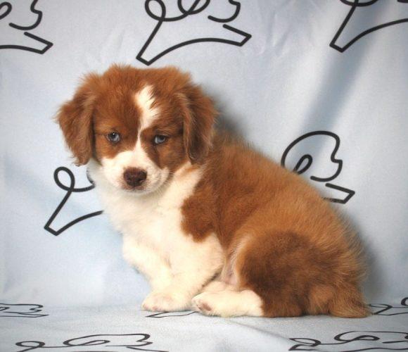 Shooter - Aussiepoo puppy in Los Angeles.0