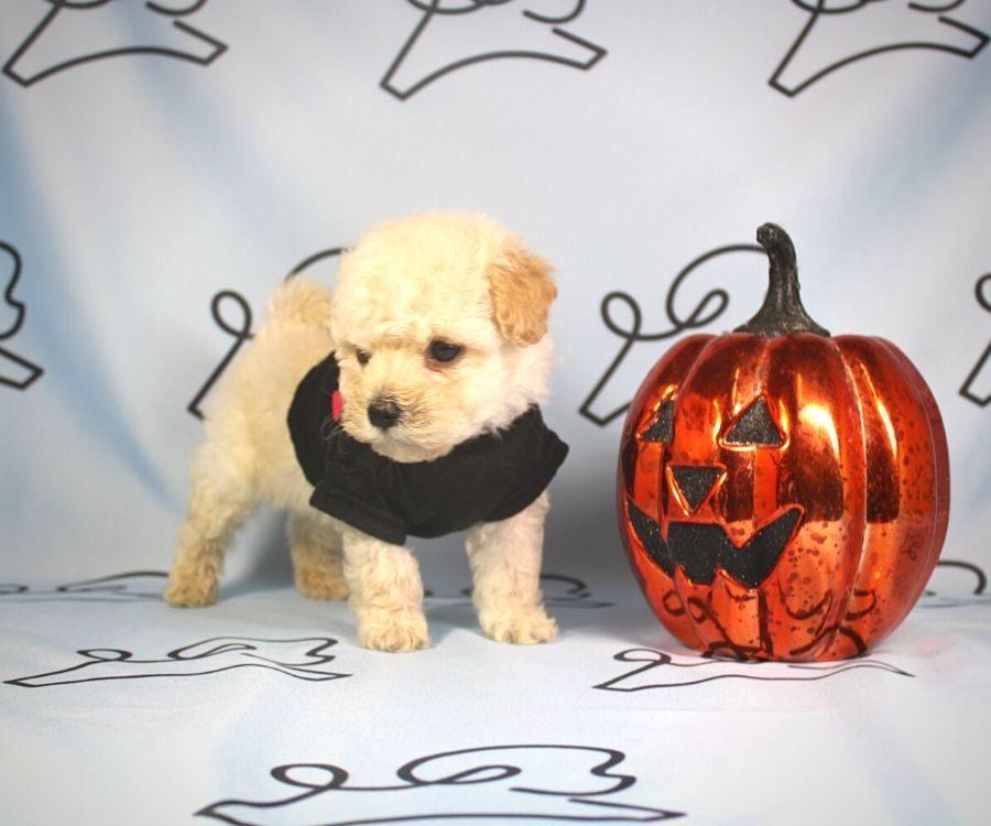 Simon - toy poodle puppy in Las Vegas:Los Angeles.0