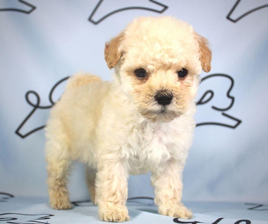 Simon - toy poodle puppy in Las Vegas:Los Angeles.3