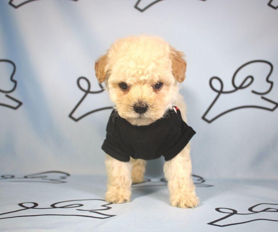 Simon - toy poodle puppy in Las Vegas:Los Angeles.4