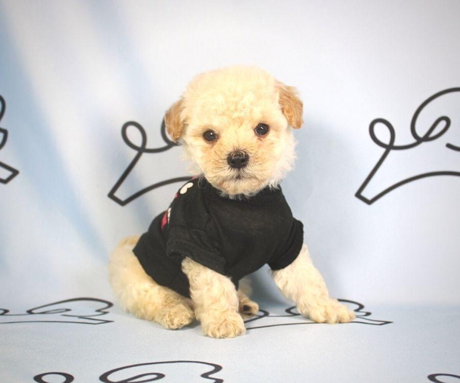 Simon - toy poodle puppy in Las Vegas:Los Angeles.5