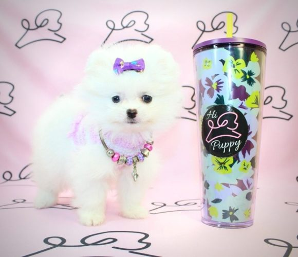 Snow White - Toy pomeranian in Los Angeles.0