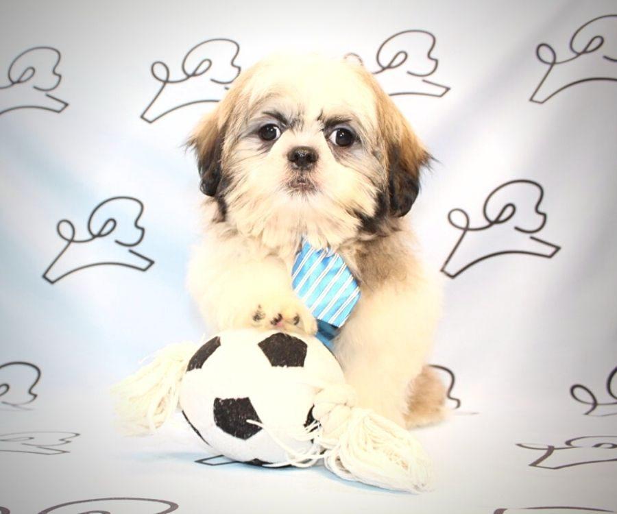 Spencer - toy Shih Tzu puppy in Las Vegas:Los Angeles.3