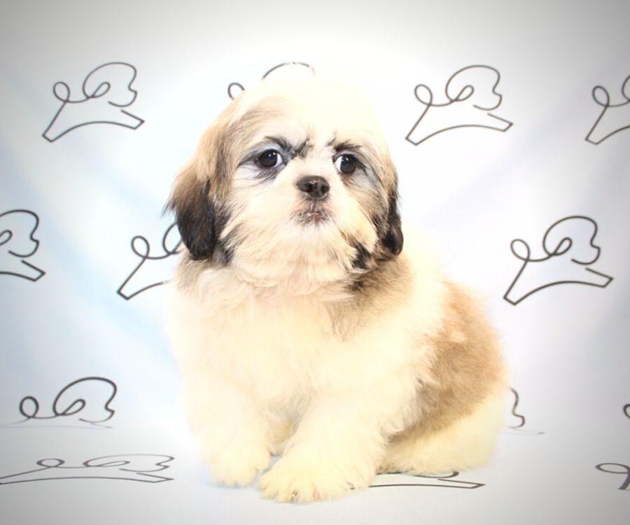 Spencer - toy Shih Tzu puppy in Las Vegas:Los Angeles.4