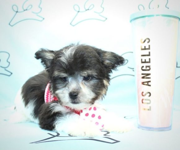Spike - Toy Maltipoo for sale.2