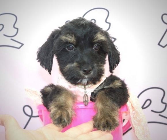 Steeler - Schnauzer Puppy.0