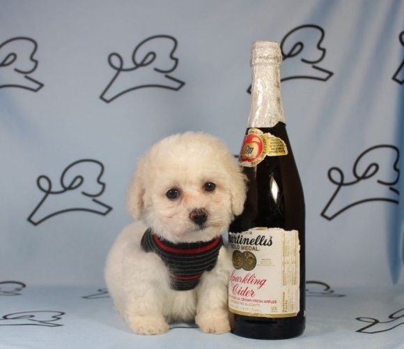 Stephan - toy poodle puppy in Las Vegas:Los Angeles.2