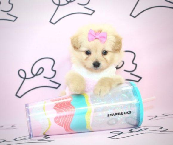 Stunning - Teacup Pampoo Puppy in Las Vegs.3