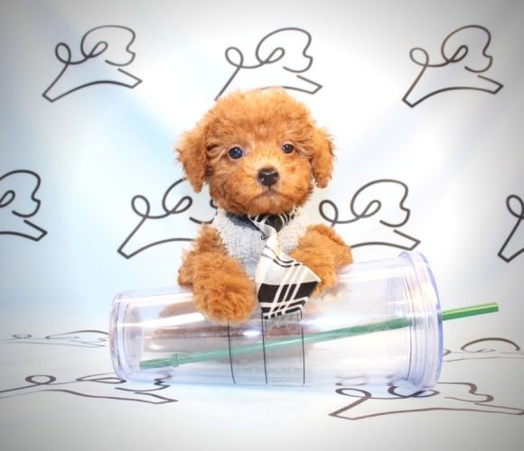 Sylvester - toy poodle puppy in Las Vegas.0