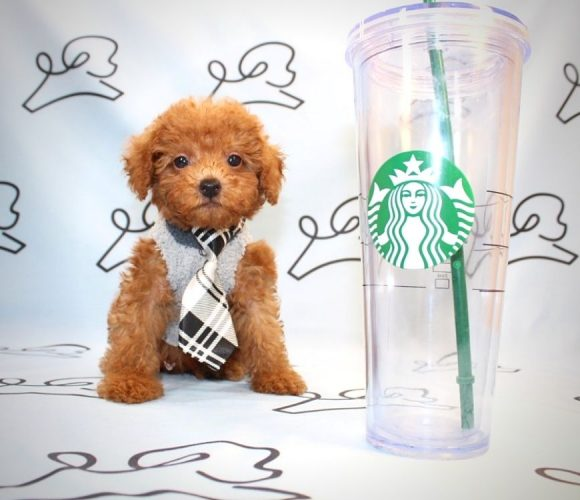 Sylvester - toy poodle puppy in Las Vegas.1