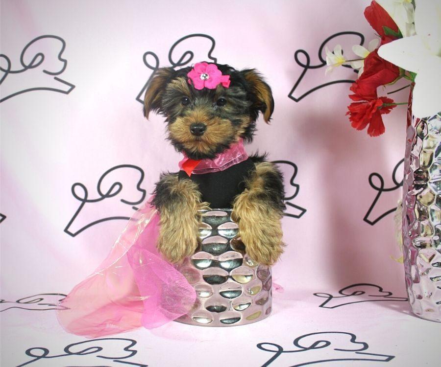 Talala - toy Yorkie puppy in Las Vegas:Los Angeles.1