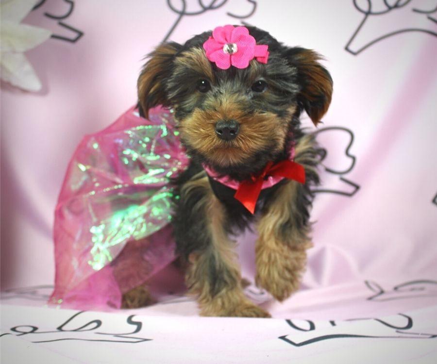 Talala - toy Yorkie puppy in Las Vegas:Los Angeles.2