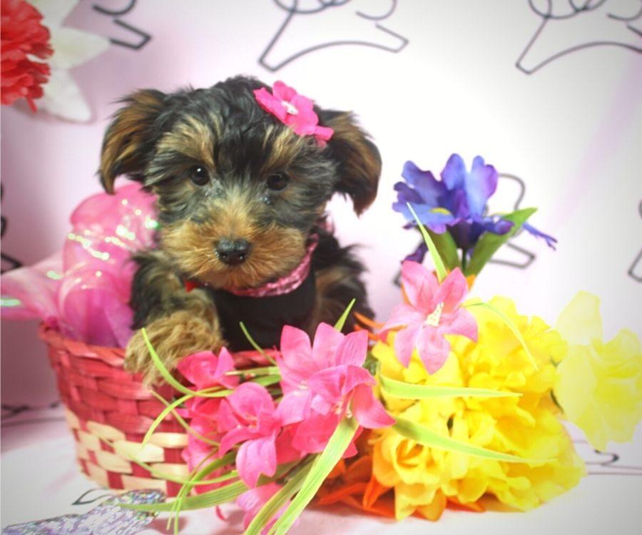 Talala - toy Yorkie puppy in Las Vegas:Los Angeles.3