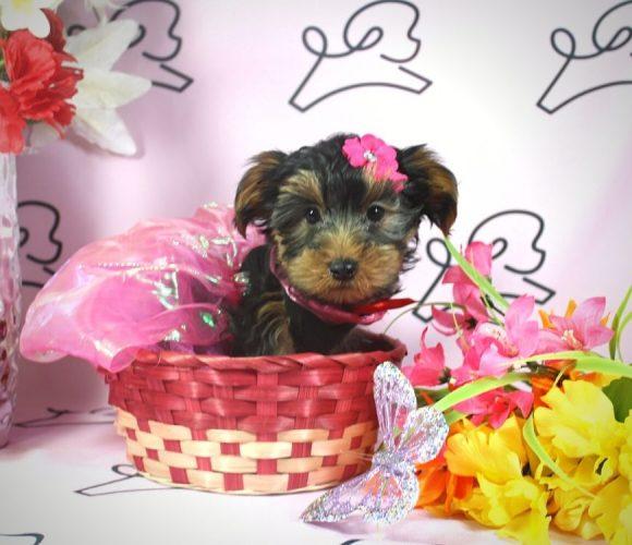Talala - toy Yorkie puppy in Las Vegas:Los Angeles.4