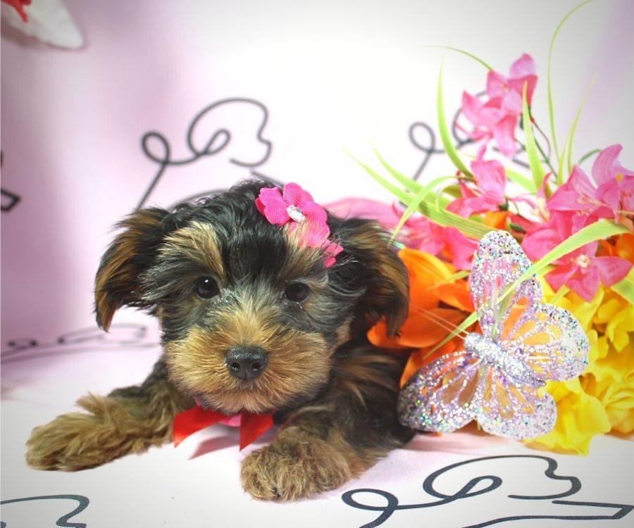 Talala - toy Yorkie puppy in Las Vegas:Los Angeles.5