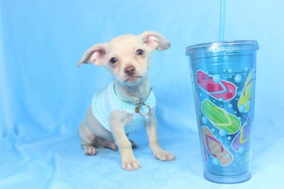 The Boss - Teacup Chihuahua Puppy In Las Vegas (8)