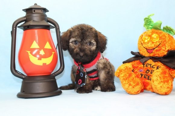 The Rock - Toy Maltipoo Puppy18