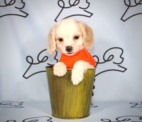 Timon - cockapoo puppy in Las Vegas:Los Angeles.5