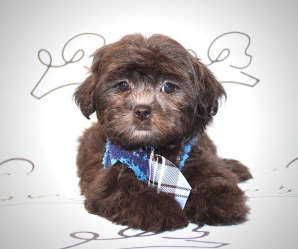 Toby - Toy Malshi Puppy near Los Angeles.1