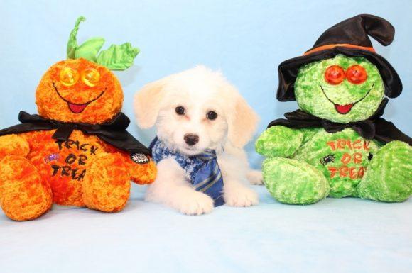 Tom Holland - Toy Maltipoo Puppy2