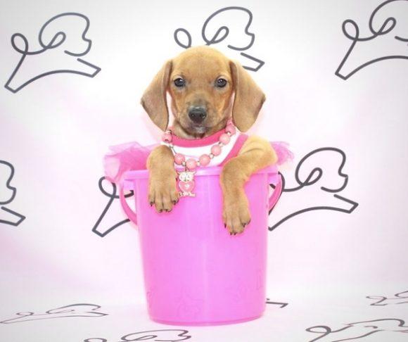 Too Much - Dachshund Puppy.2