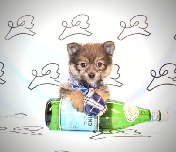 Toodle Lou - toy Pomchi puppy in Las Vegas:Los Angeles.2