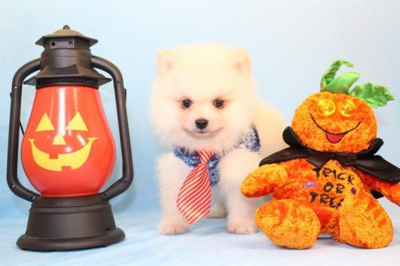 Trump - Toy Pomeranian Puppy10