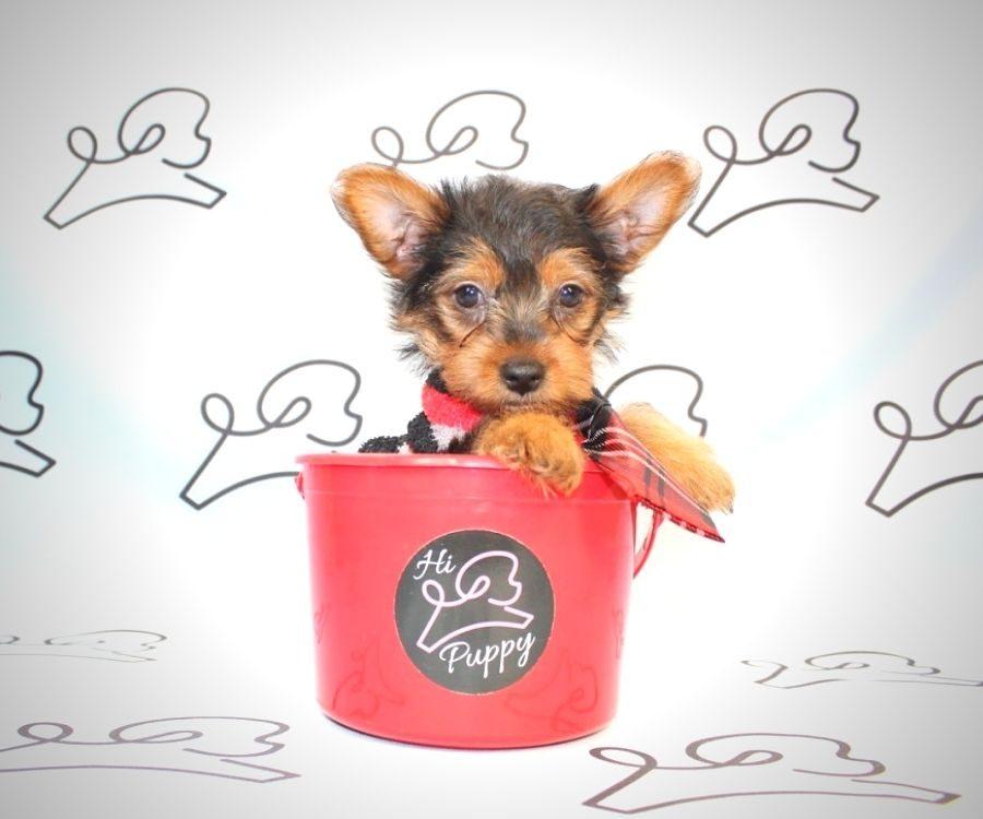 Venom - teacup yorkie puppies in Los Angeles.3