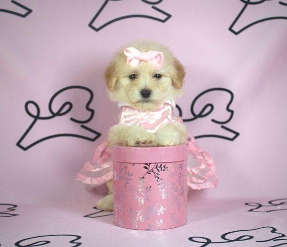 Violet - toy poodle puppy in Las Vegas:Los Angeles.0
