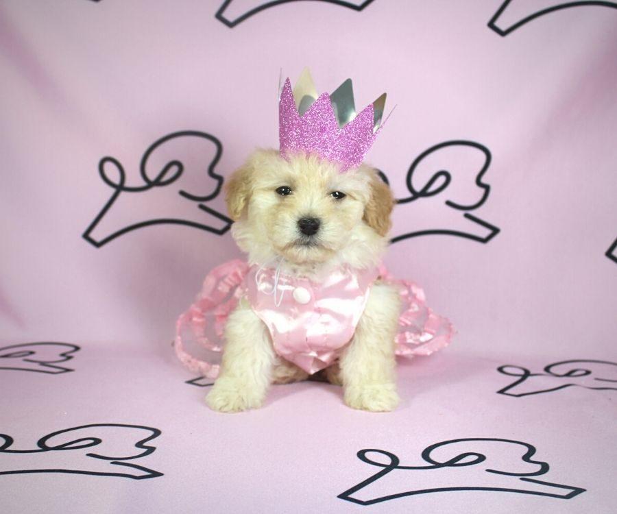 Violet - toy poodle puppy in Las Vegas:Los Angeles.1