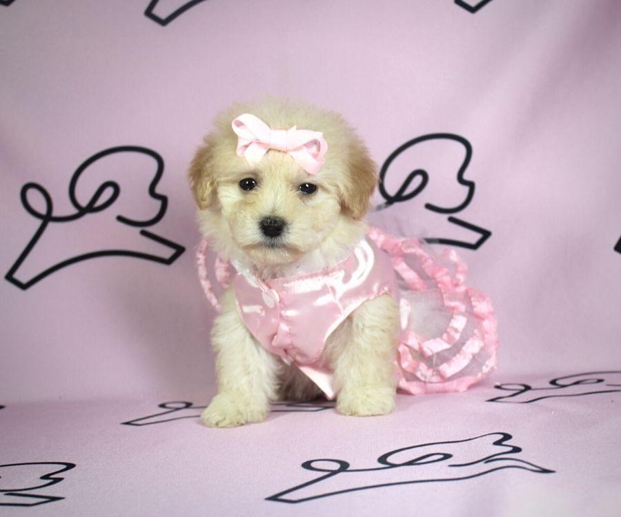 Violet - toy poodle puppy in Las Vegas:Los Angeles.2