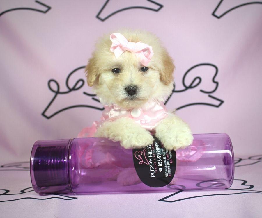 Violet - toy poodle puppy in Las Vegas:Los Angeles.3