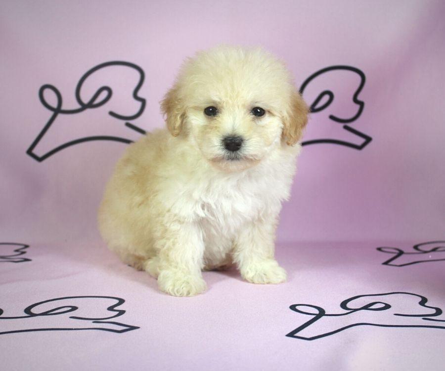 Violet - toy poodle puppy in Las Vegas:Los Angeles.4