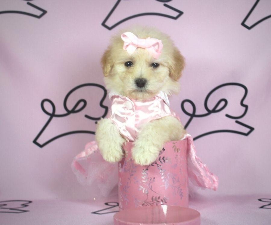 Violet - toy poodle puppy in Las Vegas:Los Angeles.5